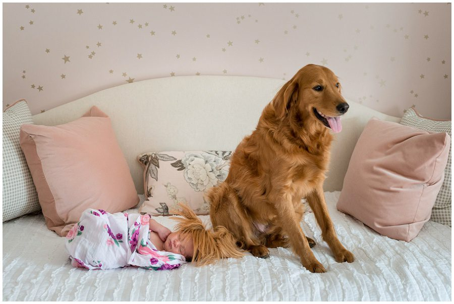 Funny photo of golden retriever dog with newborn that is on a daybed at home session