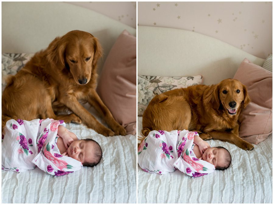 photo of golden retriever dog looking at newborn that is on a daybed at home session swaddled in wrap